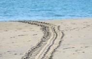 Monitoreo de Tortugas, Playa Pedasí